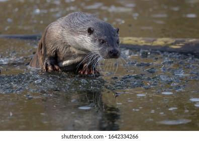 European Fish Otter Lutra animal