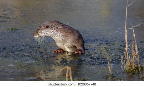 European fish Otter on ice