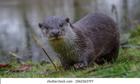 European fish otter in winter