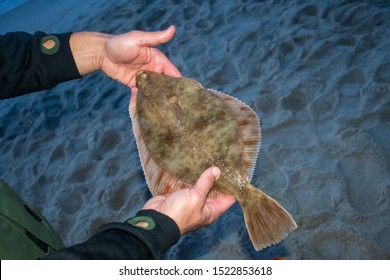 European flounder or Platichthys flesus, flatfish in the hands of a fisherman on the shore, night fishing, summer flounder season, new regulations
