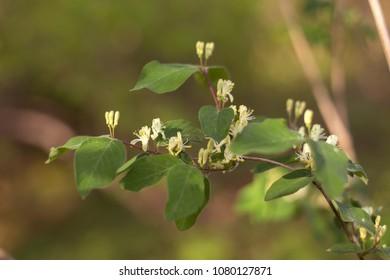 European fly honeysuckle, dwarf honeysuckle (Lonicera xylosteum) in the spring during flowering. flowers European fly honeysuckle, dwarf honeysuckle (Lonicera xylosteum), selective focus.
