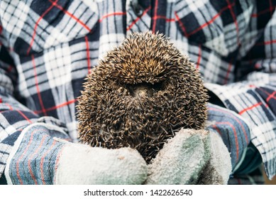 European forest hedgehog in hand with gloves