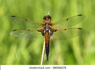European Four-spotted Chaser dragonfly (Libellula quadrimaculata)