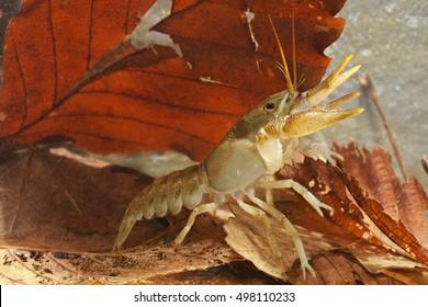 European freshwater crayfish (Austropotamobius pallipes). Side view. Liguria. Italy.