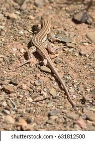 European Fringe-fingered Lizard, Acanthodactylus erythrurus