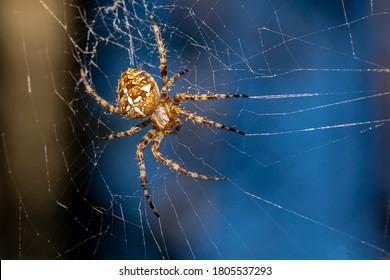 European garden spider, diadem spider, orangie, cross spider and crowned orb weaver (Araneus diadematus)