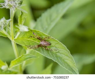 European garden spider on a plant leaf