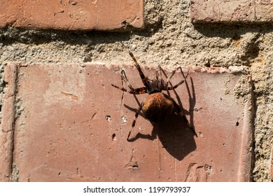 European garden spider sitting on a brick wall (Araneus diadematus)