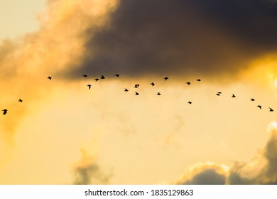 European Golden Plover, Pluvialis apricaria, flying against the sky. Wildlife and nature image from the Netherlands.