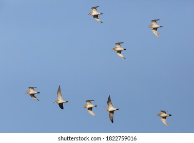 European Golden Plovers (Pluvialis apricaria) flying in the early morning winter sun to their feeding area's along the Dutch coast.