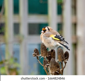 European Goldfinch Adult on Seedhead in garden.