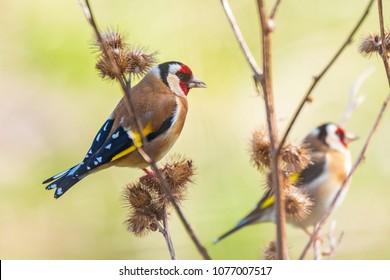 European goldfinch bird, (Carduelis carduelis), perched, eating and feeding seeds during Springtime season
