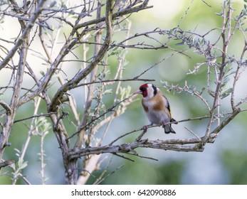 European goldfinch, carduelis carduelis