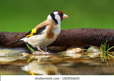European goldfinch, Carduelis carduelis, by water. East Moravia. Czech Republic. Europe.