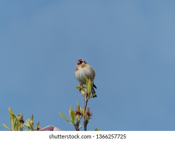 European goldfinch or goldfinch (Carduelis carduelis), Fringillidae family. Location: Hanover District, Germany