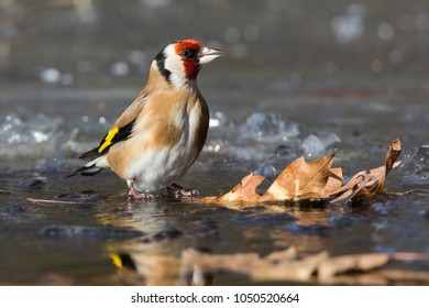 European goldfinch (Carduelis carduelis) at an ice hole in winter (the Netherlands)