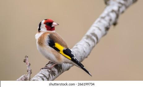 European Goldfinch (Carduelis carduelis) looking behind for enemies. In Uppland, Sweden