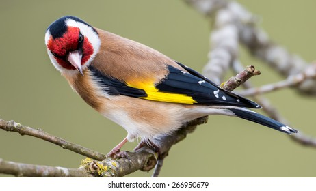 European Goldfinch (Carduelis carduelis) looking down from the twig in the oak. In Uppland, Sweden