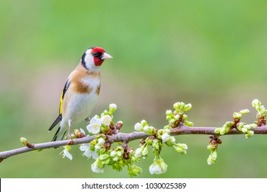 European Goldfinch ( Carduelis carduelis  ) on a blossoming branch. Slovakia