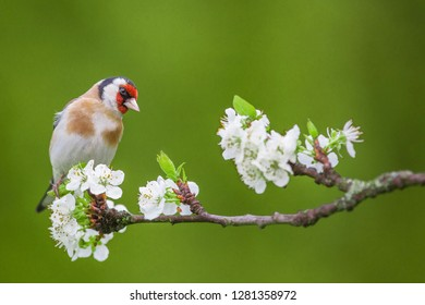 European Goldfinch ( Carduelis carduelis ) on a blossoming branch