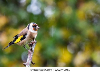 European Goldfinch (Carduelis carduelis) perched on branch with autumn background, United Kingdom
