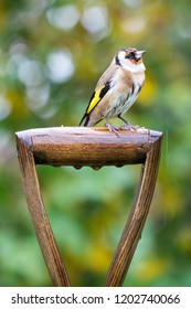 European Goldfinch (Carduelis carduelis) perched on garden fork handle with autumn background, United Kingdom