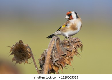 European Goldfinch (Carduelis carduelis) ,Goldfinch removes seeds from sunflower