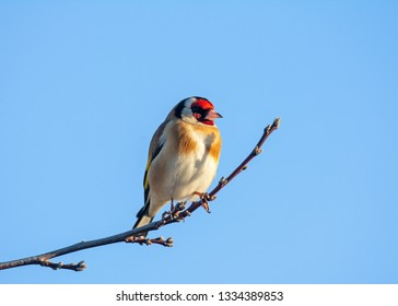 European goldfinch (Carduelis carduelis) sitting on the branch of a tree