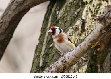 European goldfinch carduelis carduelis sitting on branch of tree. Cute colorful songbird in wildlife.