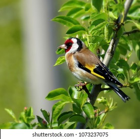 European goldfinch or goldfinch (Carduelis carduelis), is a small passerine bird in the finch family that is native to Europe, North Africa and western Asia.