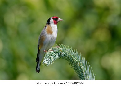 The European goldfinch or goldfinch (Carduelis carduelis), is a small passerine bird in the finch family that is native to Europe, North Africa and western Asia