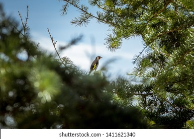 The European goldfinch or goldfinch (Carduelis carduelis), is a small passerine bird in the finch family. The breeding male has a red face and a black-and-white head.
