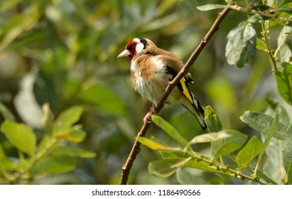 European Goldfinch drying in the sunshine