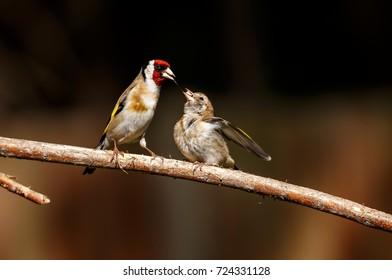 An European goldfinch feeding its fledgling
