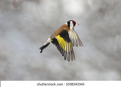 The European goldfinch in flight during snowfall (Carduelis carduelis)