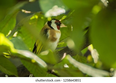European Goldfinch hidden in the tree when sun shine, Carduelis carduelis
