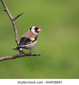 European Goldfinch, also known simply as Goldfinch, perched on a bare branch against a green background