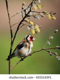 European Goldfinch, also known simply as Goldfinch, perched on a branch with spring flowers