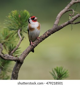 European Goldfinch, also known simply as Goldfinch, perched on a pine tree branch looking up