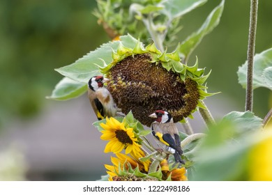 European goldfinch on a sunflower in front of a green background