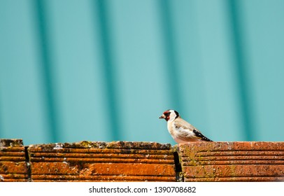 European Goldfinch on a wall. Carduelis carduelis.