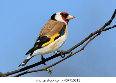European Goldfinch Perched On Branch