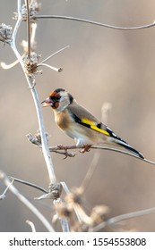 The European goldfinch or simply goldfinch (Carduelis carduelis), is a small passerine bird in the finch family