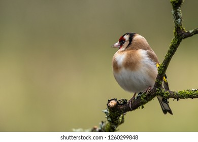 The European goldfinch with its striking red crown, golden back, and bright yellow wings of the Goldfinch make it one of the prettiest garden birds in the British Isles.
