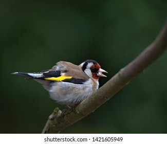 European goldfinch,Carduelis carduelis perched on a branch in my garden