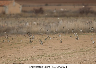European goldfinches (Carduelis carduelis parva) in flight and common linnets (Linaria cannabina mediterranea) in the background. Gallocanta Lagoon Natural Reserve. Aragon. Spain.