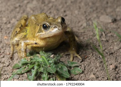 European grass or common frog places foot on a green weed and looks forward with a catch light in the eye. Plain muddy background and copy space