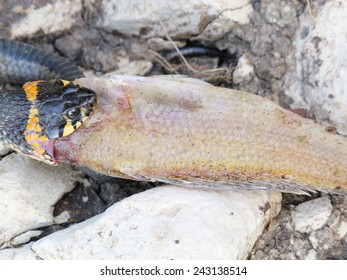 European grass snake (Natrix natrix) feeding on a dead fish on the river bank