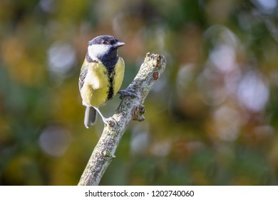 European Great Tit (Parus Major) perched on branch with autumn background, United Kingdom