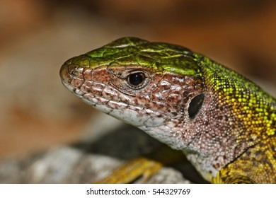 European green lizard